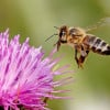 800px-Honeybee_landing_on_milkthistle02